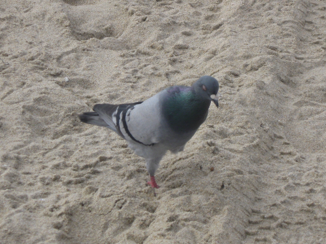 A one-legged pigeon at the beach.