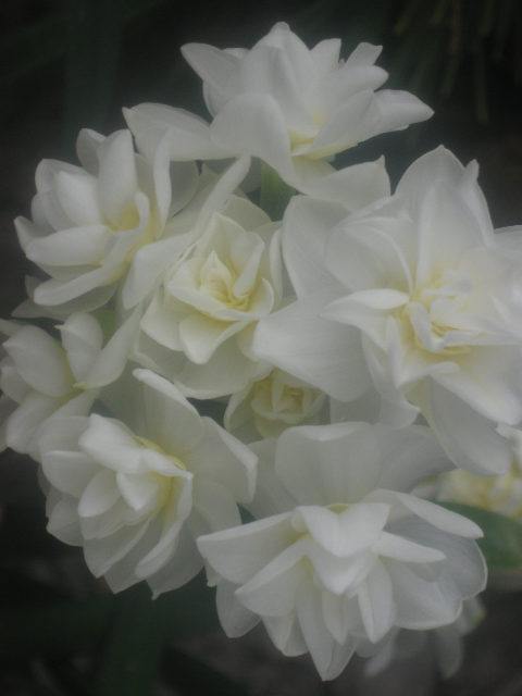 whiteflower1